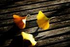 Ginkgoblätter auf Holz